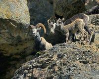 Familia de las ovejas de Bighorn   Imagen de archivo