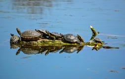 Familia de las tortugas Imagen de archivo libre de regalías