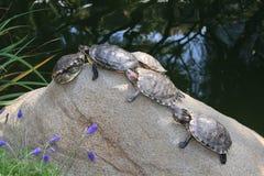 Familia de las tortugas Fotos de archivo libres de regalías