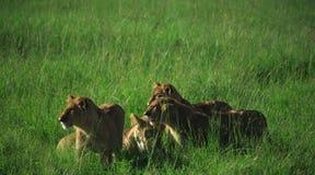 Familia de leones Fotografía de archivo