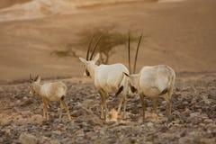 Familia de los antílopes del oryx del Scimitar fotografía de archivo