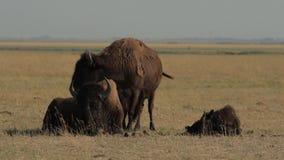 Familia de los bisontes americanos metrajes
