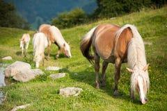 Familia de los caballos Imagen de archivo libre de regalías