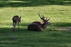 Familia de los ciervos imagen de archivo