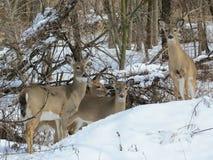 Familia de los ciervos Fotografía de archivo