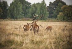 Familia de los ciervos comunes Imágenes de archivo libres de regalías