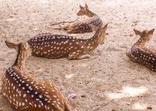 Familia de los ciervos en barbecho Foto de archivo libre de regalías