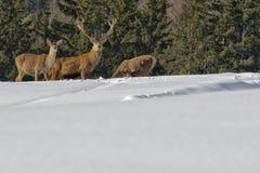Familia de los ciervos en la nieve Imagenes de archivo