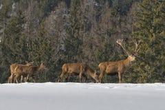 Familia de los ciervos en la nieve Foto de archivo libre de regalías
