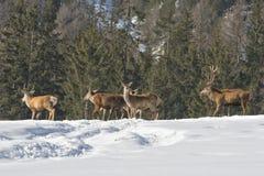 Familia de los ciervos en la nieve Fotografía de archivo