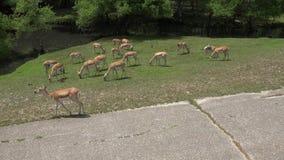 Familia de los ciervos, mamíferos, animales del parque zoológico, fauna metrajes