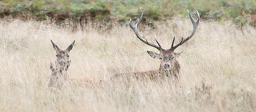 Familia de los ciervos rojos en hierba larga Imagenes de archivo