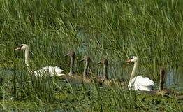 Familia de los cisnes Fotografía de archivo