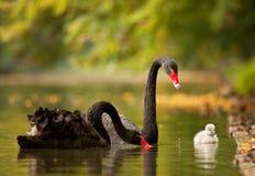Familia de los cisnes negros Imagenes de archivo