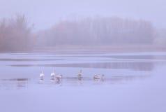 Familia de los cisnes que se divierte en el río Imágenes de archivo libres de regalías