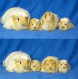 Familia de los conejillos de Indias Imagen de archivo