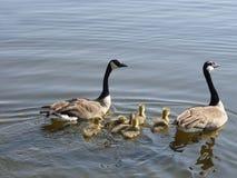 Familia de los gansos Imágenes de archivo libres de regalías