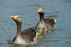Familia de los gansos Fotos de archivo libres de regalías