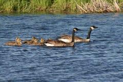 Familia de los gansos de Canadá Imagen de archivo libre de regalías