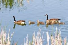 Familia de los gansos de Canadá Imagen de archivo