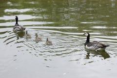 Familia de los gansos de lapa fotografía de archivo