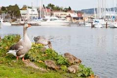 Familia de los gansos en el puerto deportivo Foto de archivo