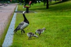 Familia de los gansos en parque Fotografía de archivo