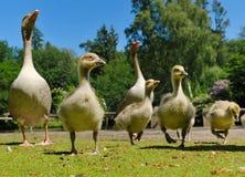 Familia de los gansos en resorte Imagenes de archivo