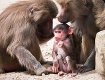 Familia de los hamadryas del babuino o del papio de Hamadryas Fotos de archivo libres de regalías