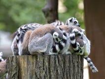 Familia de los lémures en el bosque Fotografía de archivo