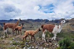 Familia de los lamas en el parque nacional del EL Cajas, Ecuador foto de archivo libre de regalías