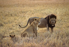 Familia de los leones Fotografía de archivo libre de regalías
