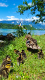Familia de los patos en el lago sangrado, Eslovenia Fotos de archivo