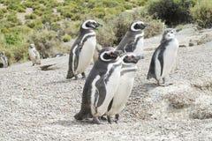 Familia de los pingüinos de Magellan Foto de archivo