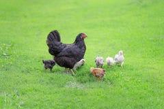 Familia de los pollos Fotografía de archivo libre de regalías