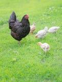 Familia de los pollos en un paseo Imagenes de archivo