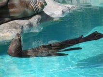 Familia de mamíferos en una piscina Foto de archivo