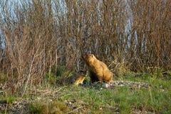 Familia de marmotas en el prado de la primavera Imagen de archivo