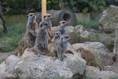 Familia de Meerkat Fotografía de archivo