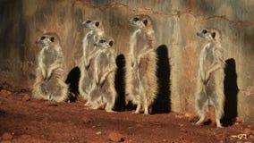 Familia de Meerkat que toma el sol en el sol almacen de metraje de vídeo