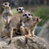 Familia de Meerkats Fotografía de archivo libre de regalías