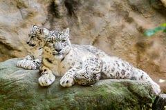 Familia de mentira de leopardo de nieve Fotos de archivo libres de regalías