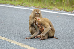 Familia de mono Fotos de archivo libres de regalías