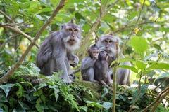 Familia de monos con los bebés en bosque sagrado del mono de Ubud Foto de archivo