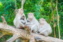 Familia de monos de macaque Fotografía de archivo