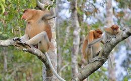 Familia de monos de probóscide que se sientan en un árbol en la selva tropical verde salvaje en la isla de Borneo El larvatu del  Fotografía de archivo