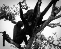 Familia de monos sentados en árbol Foto de archivo libre de regalías
