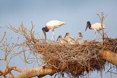 Familia de pájaro en padres de la jerarquía con los polluelos Jabiru joven, jerarquía del árbol con el cielo azul, Pantanal, el B Fotografía de archivo libre de regalías