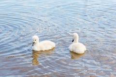 Familia de pájaro: pollos del cisne del cisne, en un lago Imagen de archivo libre de regalías