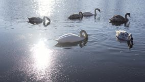 Familia de pájaros hermosa del cisne en el lago winter almacen de metraje de vídeo